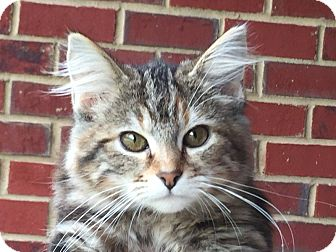 Domestic Shorthair Kitten for adoption in Knoxville, Tennessee - Purrrfect