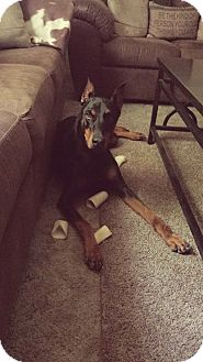 Doberman Pinscher Dog for adoption in killeen, Texas - Harley Jean