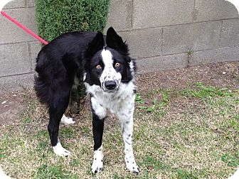 Border Collie Dog for adoption in San Pedro, California - DING
