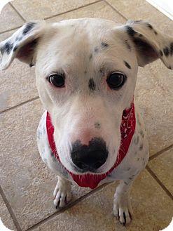 Labrador Retriever/American Staffordshire Terrier Mix Dog for adoption in Harrisonburg, Virginia - April