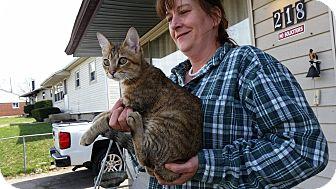 Bengal Cat for adoption in Fairborn, Ohio - Kayos