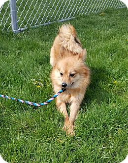 Chihuahua Mix Dog for adoption in Plainfield, Illinois - Britney