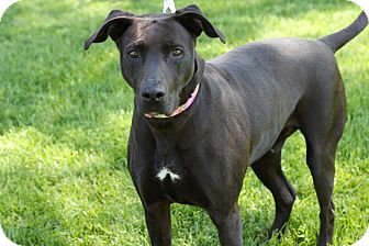 Doberman Pinscher/Labrador Retriever Mix Dog for adoption in Midland, Michigan - Dove - STRAY