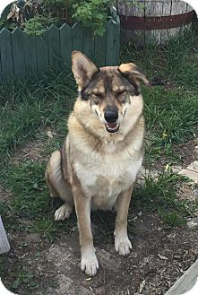 Shepherd (Unknown Type)/Husky Mix Dog for adoption in Saskatoon, Saskatchewan - Valkyrie-Pending