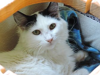 Domestic Longhair Cat for adoption in Brookings, South Dakota - Rachel