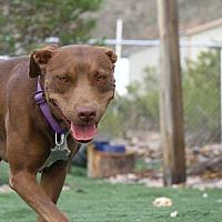 Labrador Retriever/American Staffordshire Terrier Mix Dog for adoption in Alamogordo, New Mexico - Hershey