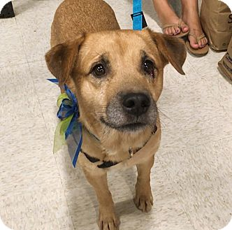 Cattle Dog/Labrador Retriever Mix Dog for adoption in Phoenix, Arizona - Houdie