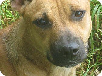 Corgi Mix Puppy for adoption in Harrisburgh, Pennsylvania - Butternut