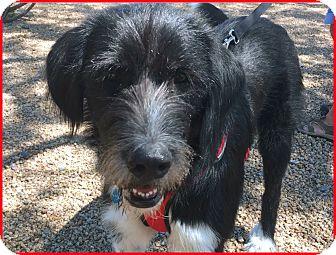 Irish Wolfhound/Newfoundland Mix Dog for adoption in Phoenix, Arizona - Bailey