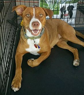 Terrier (Unknown Type, Medium)/Labrador Retriever Mix Dog for adoption in Abbeville, Louisiana - Molly