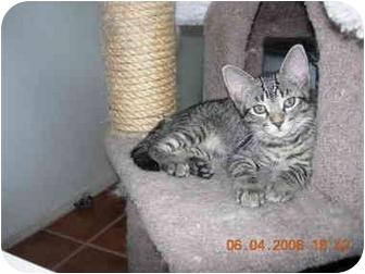 Domestic Shorthair Kitten for adoption in Thatcher, Arizona - Hannah