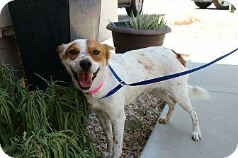 Australian Shepherd/Australian Cattle Dog Mix Dog for adoption in Phoenix, Arizona - Yasei