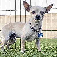 Adopt A Pet :: Odie - El Cajon, CA