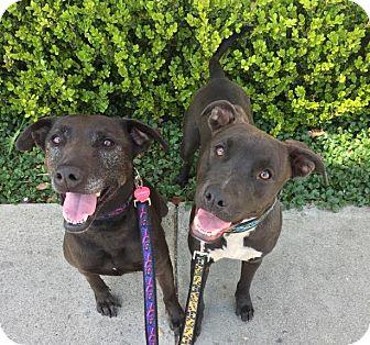 Labrador Retriever Mix Dog for adoption in santa monica, California - Lexi