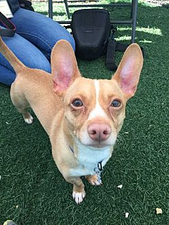 Chihuahua/Terrier (Unknown Type, Small) Mix Dog for adoption in Livermore, California - King