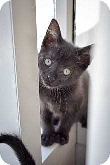 Domestic Shorthair Kitten for adoption in Prince George, Virginia - Manicotti