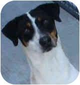 Pointer/Labrador Retriever Mix Dog for adoption in Tahlequah, Oklahoma - Sam