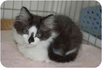 Domestic Longhair Kitten for adoption in Rockville, Maryland - Fescue