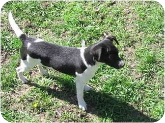 Terrier (Unknown Type, Small)/Rat Terrier Mix Puppy for adoption in Tuscola, Illinois - Sparkles