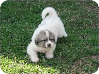 Anatolian Puppies | Adopted Puppy | Drumright, OK ...
