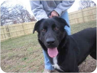 Flat-Coated Retriever/Labrador Retriever Mix Dog for adoption in Exeter, New Hampshire - Simone