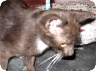 Havana Brown Kitten for adoption in Dallas, Texas - Hershey