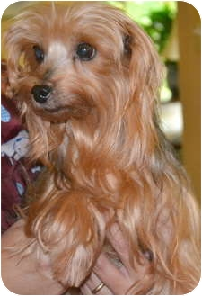 Yorkie, Yorkshire Terrier Dog for adoption in Greensboro, North Carolina - Buttercup