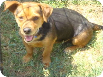 Chihuahua/Dachshund Mix Dog for adoption in Fowler, California - Yippy