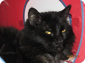 Domestic Longhair Cat for adoption in Colorado Springs, Colorado - Charcoal
