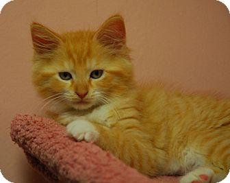 Domestic Mediumhair Kitten for adoption in Lunenburg, Massachusetts - Emma #4