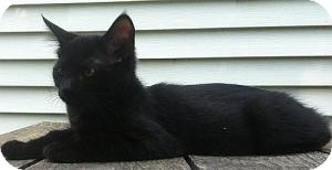 Domestic Shorthair Kitten for adoption in Windham, New Hampshire - Coleigh (Urgent) (Fee $65)