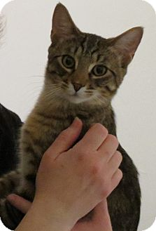 Domestic Shorthair Kitten for adoption in Chicago, Illinois - Max