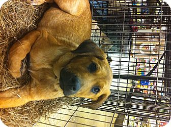 Shepherd (Unknown Type) Mix Puppy for adoption in Gainesville, Florida - Bo