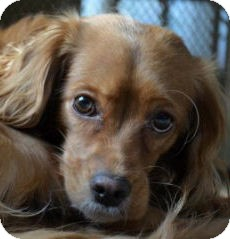 Cocker Spaniel Dog for adoption in Santa Barbara, California - DAISY