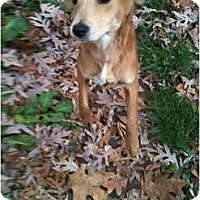 Adopt A Pet :: Carla ** Reduced Adoption Fee - Fulton, MD