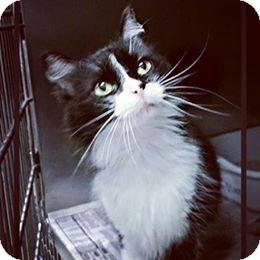 Domestic Mediumhair Cat for adoption in Houston, Texas - Savannah