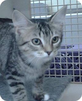 Domestic Shorthair Cat for adoption in Richmond, Virginia - Mary Alice