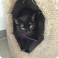 Domestic Shorthair Cat for adoption in Boca Raton, Florida - Momma