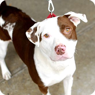 American Bulldog/Labrador Retriever Mix Dog for adoption in Detroit, Michigan - McKinley-Adopted!