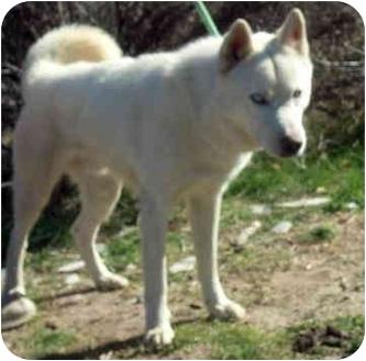 Siberian Husky Dog for adoption in Southern California, California - Honcho