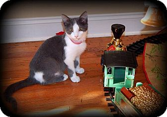Domestic Shorthair Kitten for adoption in Chattanooga, Tennessee - Mozzarella