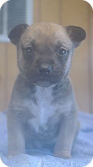 Jack Russell Terrier Mix Puppy for adoption in San Pablo, California - Gabys Pup 4