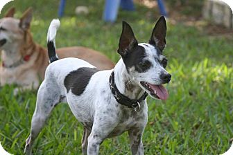 Rat Terrier/Chihuahua Mix Dog for adoption in Palmetto Bay, Florida - Katie