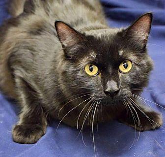 Domestic Shorthair Cat for adoption in Edmond, Oklahoma - Dobby