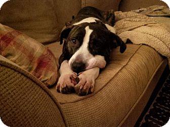 American Staffordshire Terrier/Irish Water Spaniel Mix Dog for adoption in Kimberton, Pennsylvania - APACHE