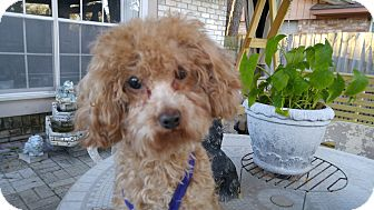 Poodle (Toy or Tea Cup) Mix Dog for adoption in Conroe, Texas - Josie