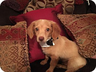 Dachshund Mix Puppy for adoption in Beaumont, Texas - Jenga