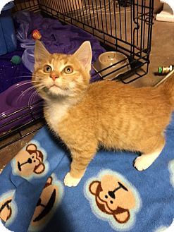 Domestic Shorthair Kitten for adoption in Carlisle, Pennsylvania - Max