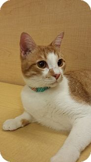 Domestic Shorthair Cat for adoption in Mesa, Arizona - Danny