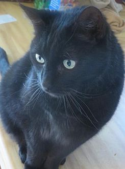 Domestic Shorthair Cat for adoption in Plymouth, Minnesota - Sirius  **Courtesy Listing**